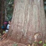 Backpacker Kerry Olson hugs a giant cedar in North Cascades National Park.