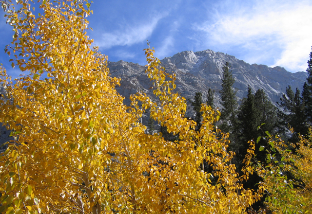 Golden sycamores matted against the gray granite of the Sierras, Inyo National Forest.